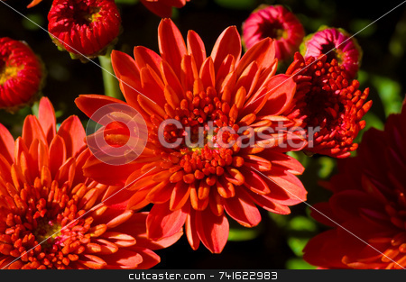 Red flower macro stock photo, Macro shot of a red flower in a garden by Jean Larue-Frechette