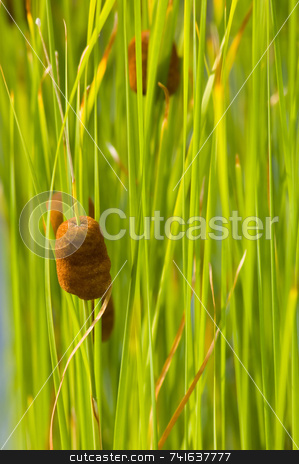 Cattail, green background stock photo, Close-up of A small cattail wit bright green leaves by Jean Larue-Frechette