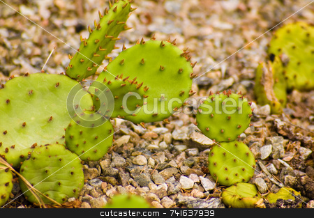 Small cactus stock photo, Bright green cactusgrowing  in a stone field by Jean Larue-Frechette