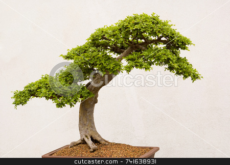 Bonsai stock photo, Old bonsai tree shot in front of a white wall by Jean Larue-Frechette