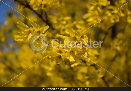 Forsythia stock photo, Yellow forsythia on a spring day by Ron Johnson