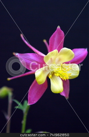 Pink And Yellow Columbine stock photo, Columbine flower isolated on a black background. by Lynn Bendickson