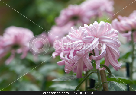 Curly Pink Chrysanthemum stock photo, Curly lavender pink petals on large chrysanthemum or mum staked in a fall garden. Main flower in focus with garden blurred in background. by ngirl
