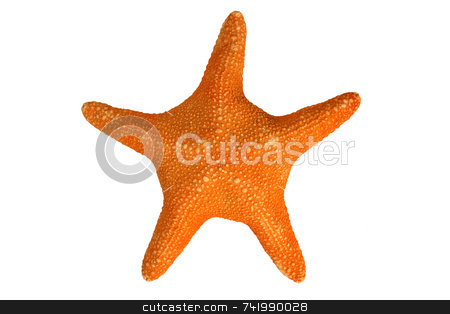 An orange starfish, isolated on a white background stock photo, An orange starfish, isolated on a white background by Stephen Rees