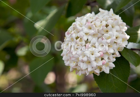 Snowball bush flowering stock photo, A springtime viburnum blossoming in the garden... lots of flowers in a snowball shape. by Mitch Aunger