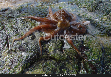 Octopus stock photo, Red/purple octopus. by Daniel Wiedemann