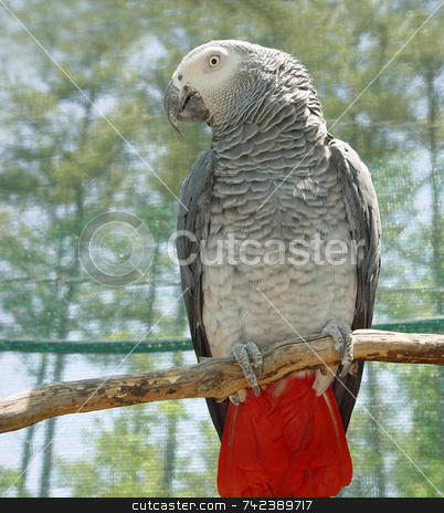 African Gray stock photo, Domesticated gray parrot with red-and-black tail and white face; native to equatorial Africa by Jack Schiffer