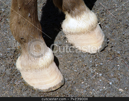 Hoof stock photo, Horny sheath covering the toes or lower part of the foot of a mammal by Jack Schiffer