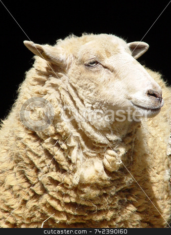 Mona Lisa Smile stock photo, Close up of smiling sheep by Jack Schiffer
