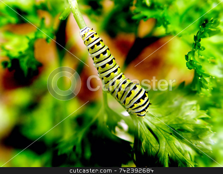 Caterpillar stock photo, Caterpillar eating parsley by Jack Schiffer
