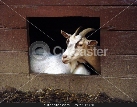 Goat Pose stock photo, Goat sticking his head out for a pose Yellow River Game Ranch Lilburn Ga by Jack Schiffer
