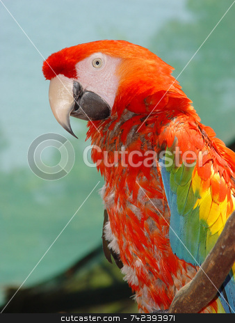 Macaw Parrot stock photo, Colorful tropical Macaw parrot posing by Jack Schiffer