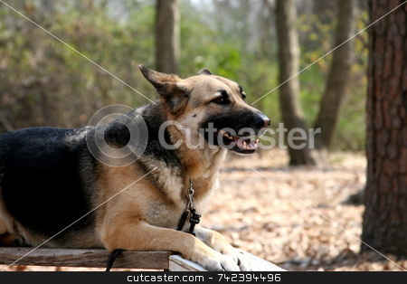Obedient Dog stock photo, German Shepherd dog training to be a service animal by Jack Schiffer