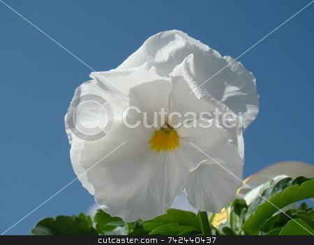 Beautiful White Pansy Close-Up stock photo,  by CHERYL LAFOND