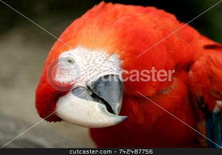 Scarlet Macaw's head stock photo, Scarlet Macaw trying to look sideways at me by Henrik Lehnerer