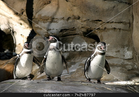 Humboldt Penguin 4677 stock photo, The Humboldt Penguins is a South American penguin, breeding in coastal Peru and Chile. by Henrik Lehnerer