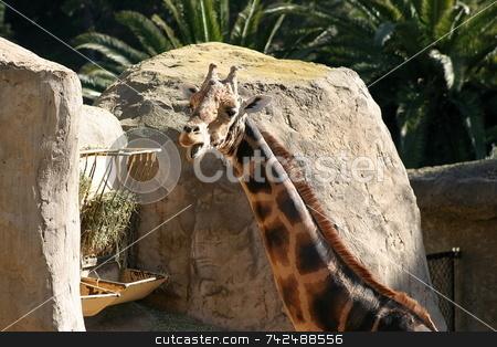 Baringo Giraffe 4714 stock photo, The Rothschild Giraffe also known as the Baringo Giraffe or as the Ugandan Giraffe is one of the most endangered giraffe subspecies. by Henrik Lehnerer
