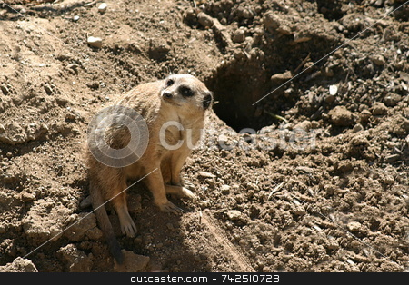 Meerkat 4709 stock photo, The meerkat or suricate is a small mammal and a member of the mongoose family. by Henrik Lehnerer