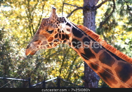 Baringo Giraffe 4703 stock photo, The Rothschild Giraffe also known as the Baringo Giraffe or as the Ugandan Giraffe is one of the most endangered giraffe subspecies. by Henrik Lehnerer