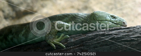 Prehensil Tailed Skink stock photo, Skinks are the most diversed group of lizards by Henrik Lehnerer