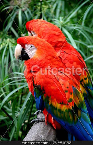 Two Scarlet Macaw stock photo, The Scarlet Macaw is a large colourful parrot. by Henrik Lehnerer