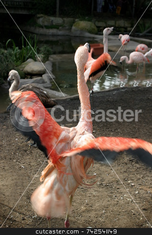 Chilean Flamingo (4908) stock photo, Pink Chilean Flaming looking for food in the water. by Henrik Lehnerer