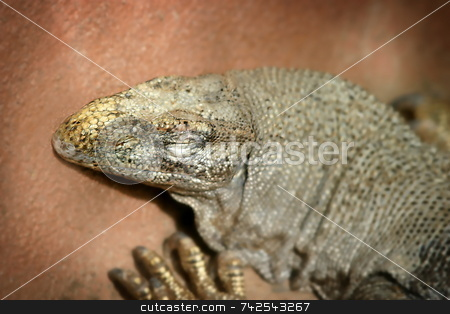 Iguana 4836 stock photo, Iguana is a genus of lizard native to tropical areas of Central and South America and the Caribbean by Henrik Lehnerer