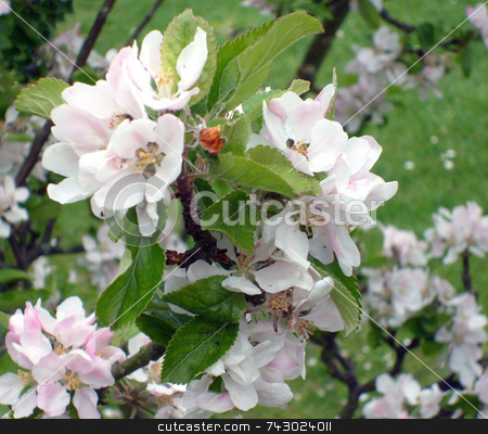 Apple blossom on apple tree stock photo, Apple blossom on apple tree by Martin Crowdy