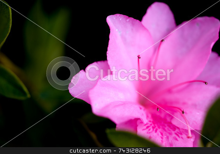 Macro of pink azaleas stock photo, Macro of fresh cut pink azaleas by Vince Clements