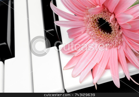 Pink flower on a piano keyboard stock photo, Closeup of a pink flower on a piano keyboard by Vince Clements