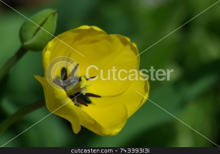 Tulip yellow stock photo, A bright yellow tulip stretches toward the sun on a pleasant sunny afternoon.  Tulips are another sign of spring and a favorite of many gardeners. by Dennis Thomsen