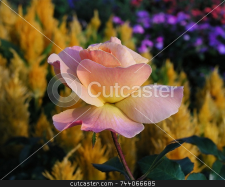 Rose at Sunset stock photo, Pink rose at sunset in front of a garden of golden astilbe and other garden flowers. by ngirl