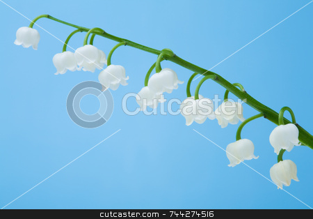 Lily of the Valley flower stock photo, Lily of the Valley flower on blue background (Convallaria majalis) by Jon Stokes