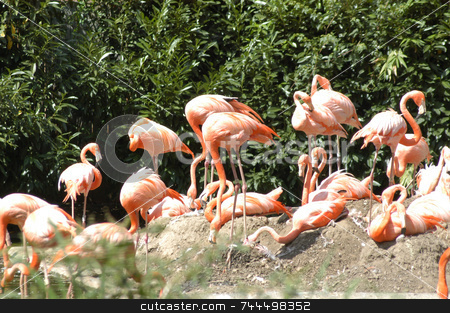 Flamingos stock photo, A group of pink flamingos frolicing on the rocks by Tim Markley