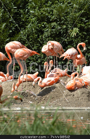 Pink flamingos stock photo, A group of pink flamingos frolicing on the rocks by Tim Markley