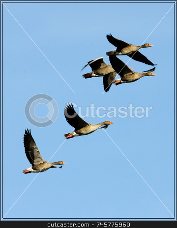 Flight of Greylag Geese stock photo, Five geese in flight, from left to right, on plain blue sky background by Stefan Edwards