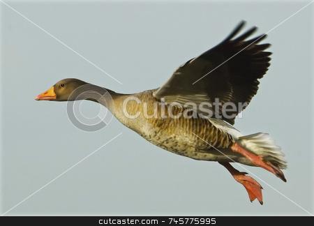Greylag goose in flight stock photo, Full frame Grey Lag goose in flight viewed from the left side by Stefan Edwards