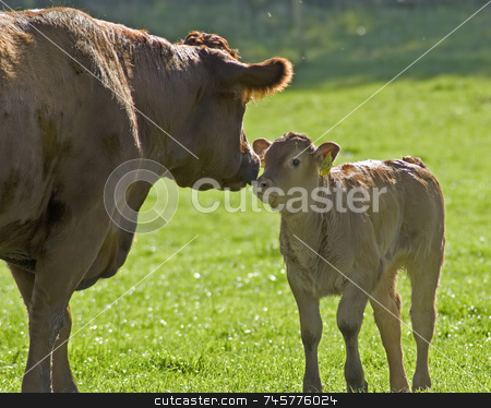 Brown cow with calf in field stock photo, A brown cow with a calf, touching noses in a green field on a sunny day by Stefan Edwards