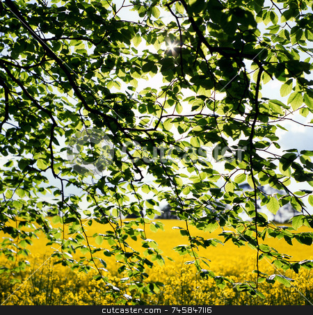 Contrast stock photo, Spring leaves in front of a field of Oilseed rape by Paul Phillips