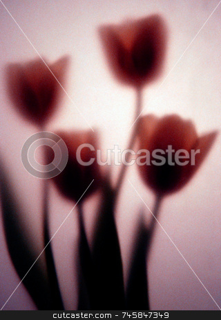 Romance stock photo, Four tulips photographed behind art paper by Paul Phillips