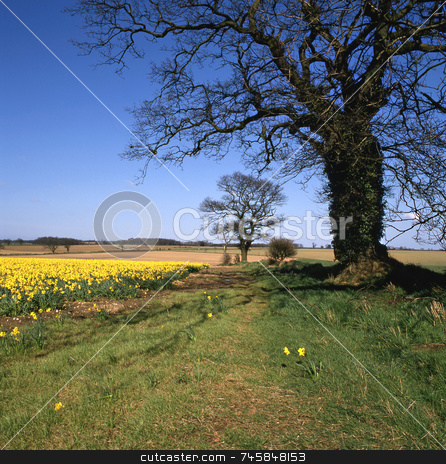 Country Lane stock photo, Country lane in springtime with daffodils in fields by Paul Phillips