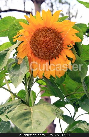 Giant sunflower stock photo, Giant yellow sunflower on a sunny afternoon by Jonas Marcos San Luis