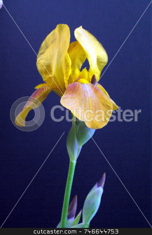 Yellow Iris stock photo, Yellow colored  iris on a sunny spring day by Lynn Bendickson
