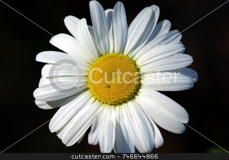 Single Daisy On Black stock photo, One white daisy on a black background. by Lynn Bendickson