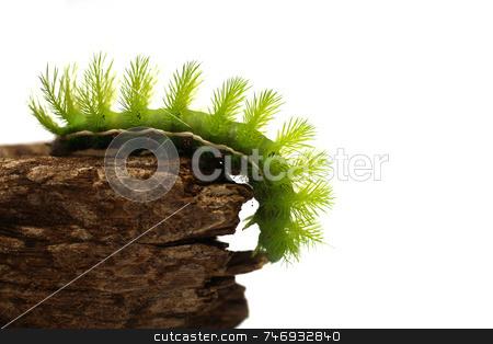 Scary Green Caterpillar stock photo, A creepy and spiky green caterpillar (Costa Rican Hairy Caterpillar) by Daniel Wiedemann