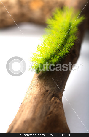 Scary Green Caterpillar stock photo, A creepy and spiky green caterpillar (Costa Rican Hairy Caterpillar) by Daniel Wiedemann
