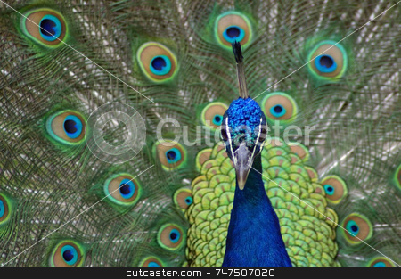 Peacock stock photo, Peacock doing matting dance by Ron Johnson