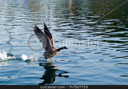 Takeoff stock photo, Goose taking of from water into flight by Ron Johnson