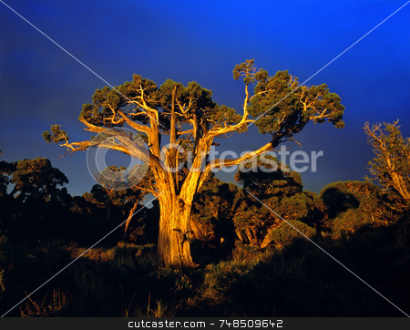 Sunset Tree stock photo, A large tree photographed at sunset. by Mike Norton