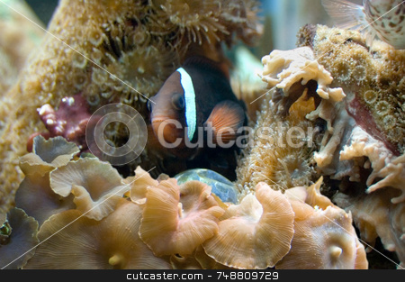 Clown Fish and Anenomes stock photo, Clown fish hiding in gouping of anenomes and aquatic plants and corals. by ngirl